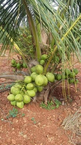 bibit kelapa genjah entok unggul cepat berbuah. WA 0857 4775 7565