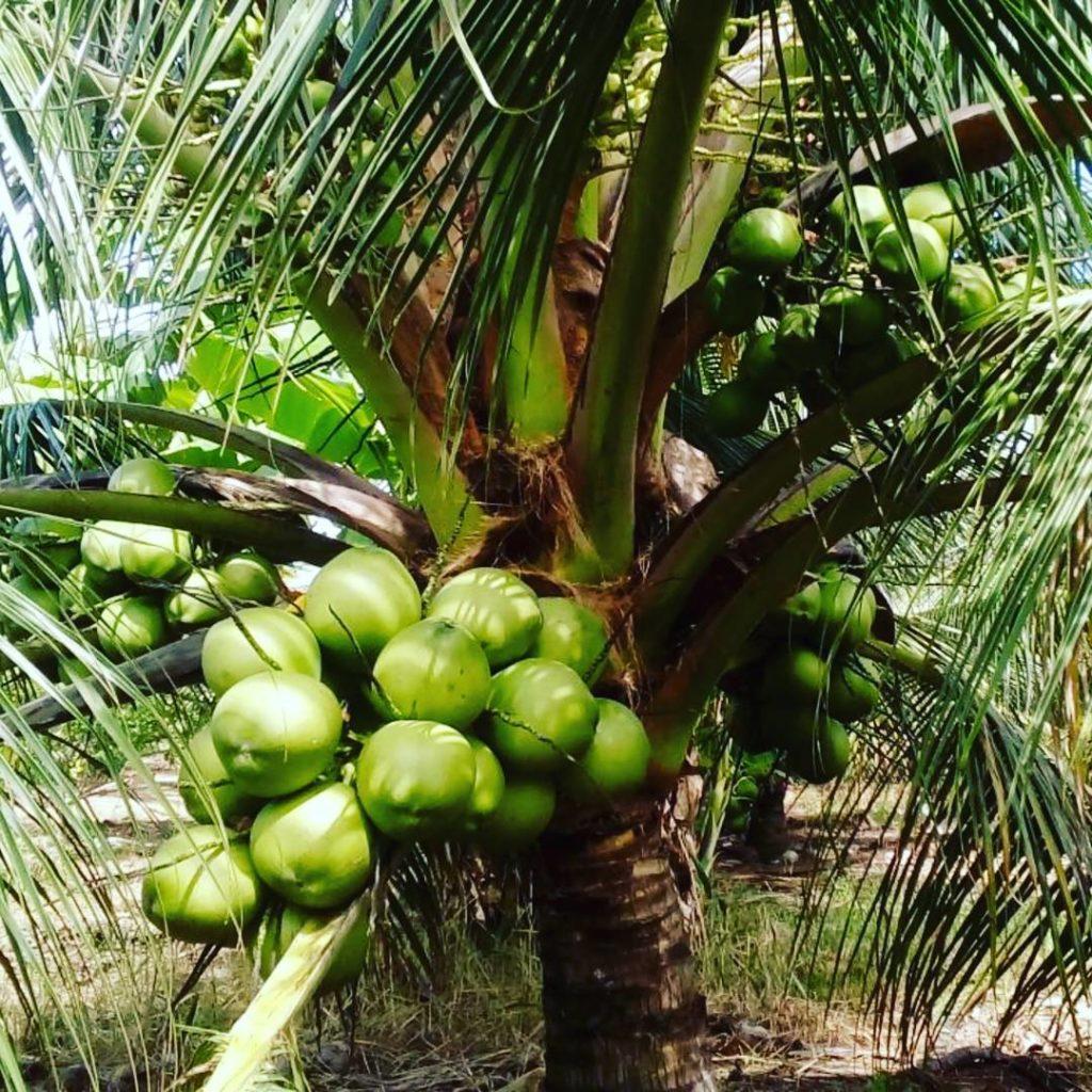 Bibit kelapa hibrida adalah tanaman unggul yang mempunyai ciri-ciri pohon kelapa berbuah pendek.